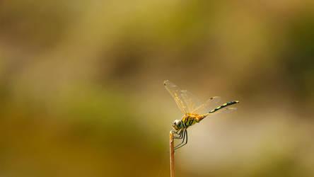 Dragonfly by Mystic-Majinbuu