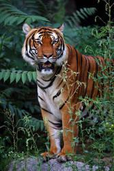 Tiger by Skanatiker