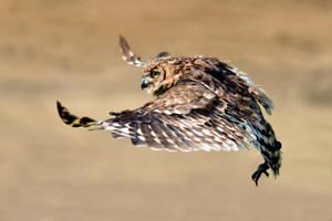 Owl by Svennovitch