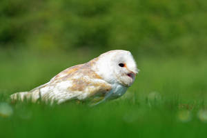 Barn Owl I by Svennovitch