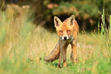 Fox I by Svennovitch