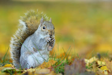Squirrel I by Svennovitch
