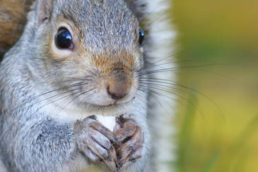 Squirrel II by Svennovitch