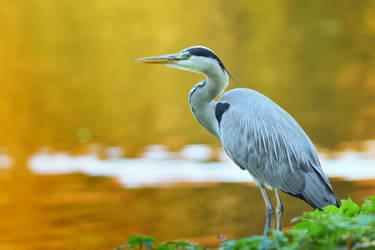 Grey heron by Svennovitch