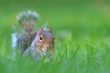 Squirrel III by Svennovitch