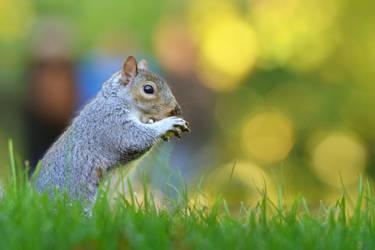 Squirrel IV by Svennovitch
