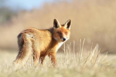 Fox VI by Svennovitch