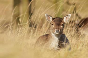Deer by Svennovitch