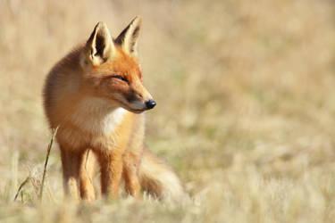 Fox VII by Svennovitch
