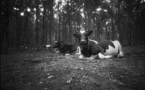 The cows in forrest1 by Fmagay