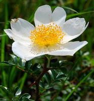 cheroke rose by yabbles