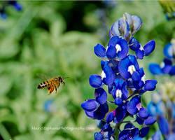 Blue Bonnet Bee by yabbles