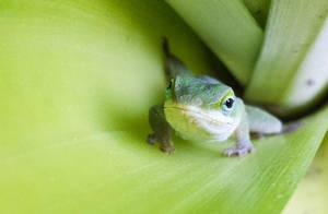 pineapple lizard by yabbles