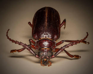 cali beetle MCS 0214 by yabbles