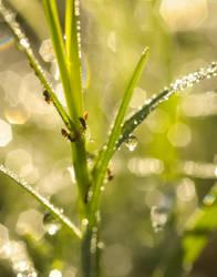 Dew Drop Ants by yabbles