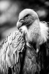 vulture 2 by nicky