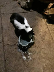 Cute Skunk by SuziethePuffball