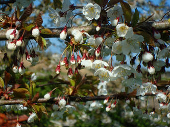 Apple Blossoms by Jacura