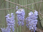 Wisteria Vine close up by kenlybop