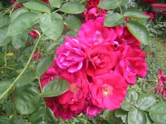 Rose Bush-close up 1 by kenlybop