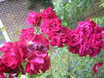 Rose Bush-close up 2 by kenlybop