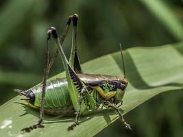 Large grasshopper by An-Drake