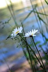 Daisy Duo. by Kelsey-Anne