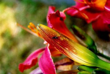 Vibrant Lily 2. by Kelsey-Anne