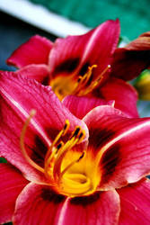 Vibrant Lily 3. by Kelsey-Anne