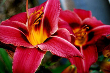 Vibrant Lily 4. by Kelsey-Anne