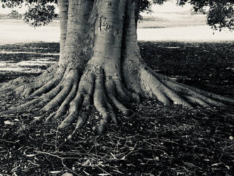 Tree roots black and white photo 14/6/2018 by Saraeustace91