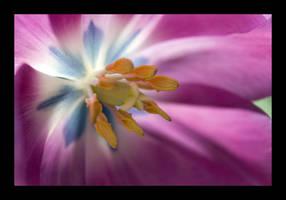 Purple Tulip by themobius