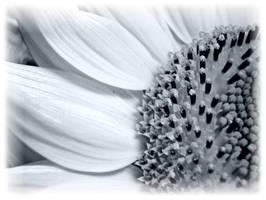 sunflower by Nanera