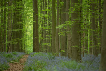 Blue Forest Road Hallerbos 002 by ISOStock