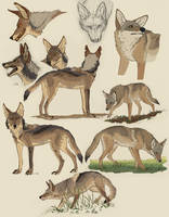 [SDS] Coyote Collage by Canis-ferox
