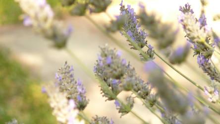 Lavender by Miss-Yuki-James