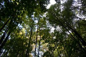 Trees Stock 2 by muttbutt