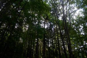 Trees Stock 4 by muttbutt