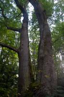 Trees Stock 6 by muttbutt