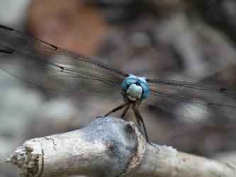Dragonfly by warreni