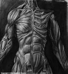 Anterior Muscle Study by TheDragonofDoom