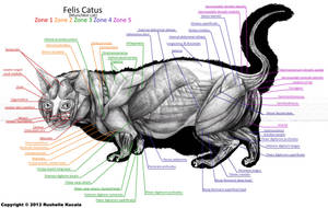 Munchkin Cat Muscle Anatomy by TheDragonofDoom