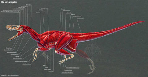 Dakotaraptor Muscle Study by TheDragonofDoom