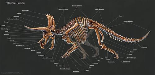 Triceratops Horridus Skeletal Study by TheDragonofDoom