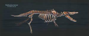 Rodhocetus Kasrani Skeletal Study by TheDragonofDoom