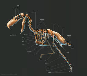Kelenken Guillermoi Skeleton Study by TheDragonofDoom