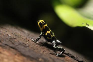 Thumbnail Dart Frog by MinionofSloth