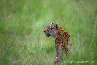 Leopard in pastel by regiseyeonnature