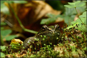 wood frog by Nonicak
