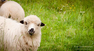 Just a sheep :) by vertiser